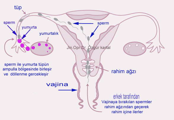 döllenme dış gebelik oluşumu nasıldır